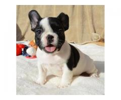 cachorros restantes disponibles  bulldog ingles