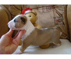 Regalo bull terrier cachorros mini
